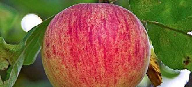 Яблоня осеннее полосатое штрейфлинг