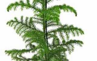 Декоративные комнатные деревья фото