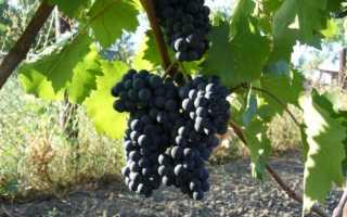 Виноград памяти голодриги описание сорта фото