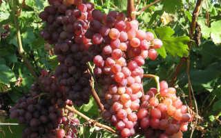 Виноград лучистый описание сорта фото отзывы видео