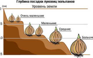 Как правильно сажать луковицы тюльпанов осенью