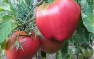 Характеристика сорта томата батяня
