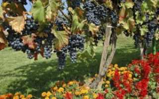 Хлороз винограда фото и чем лечить