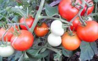 Сорт томата яблонька России отзывы фото