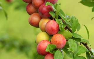 Почему сливовое дерево не приносит плодов