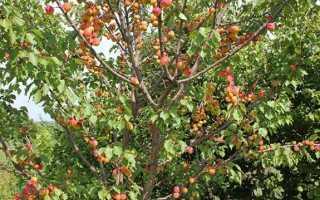 Сорт абрикоса триумф северный отзывы