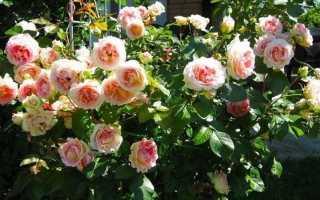 Плетистая роза цезарь описание фото отзывы