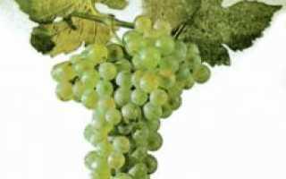 Виноград шасла описание сорта фото отзывы