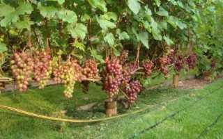 Виноград памяти учителя форум