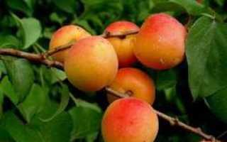 Выращивание абрикоса в беларуси