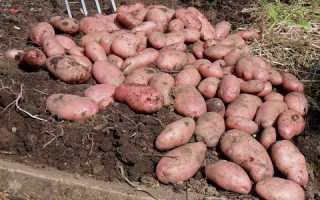 Купить семенной картофель сорта сапро мира