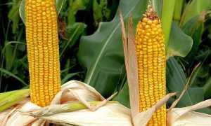 Сорта кукурузы для консервирования