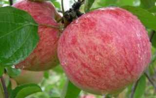 Яблоки коричное полосатое описание фото