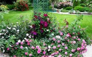 Почвопокровные розы укрытие на зиму и обрезка