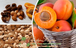 Полезны ли абрикосовые косточки вернее их орешки