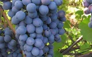 Виноград харитон описание сорта фото отзывы