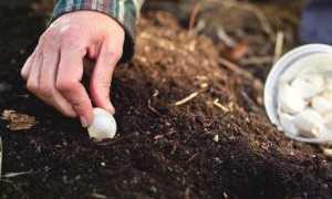 Где лучше посадить чеснок под зиму