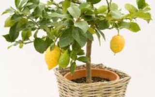 Почему лимон скидывает листья
