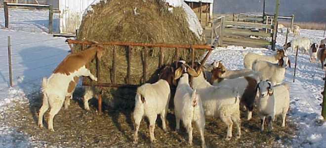 Коза рацион питания зимой