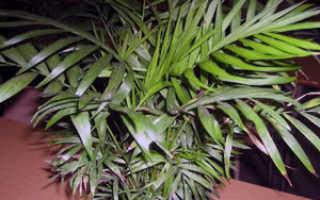 Хамедорея пальма как ухаживать