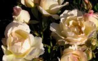 Роза дьяблес де мэр энциклопедия роз