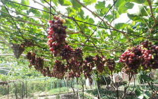 Беседка для винограда своими руками фото