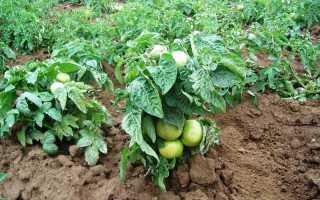 Лучшие сорта штамбовых томатов для открытого грунта