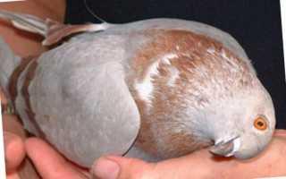 Болезнь голубей вертячка чем лечить