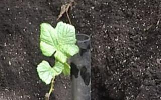 Как правильно сажать виноград саженцами осенью