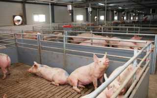 Сколько съедает свинья до забоя