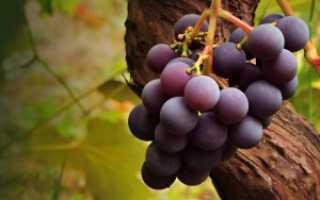 Настойка из винограда изабелла на спирту