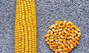 Масса 1000 зерен кукурузы