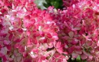 Гортензия метельчатая hydrangea paniculata pink diamond