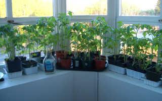 Как вырастить комнатные помидоры на подоконнике