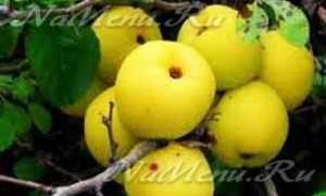 Айва японская плоды как приготовить