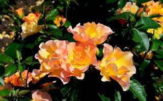 Роза морден санрайз отзывы