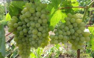 Сорт винограда гарольд отзывы