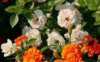 Обработка роз на зиму железным купоросом