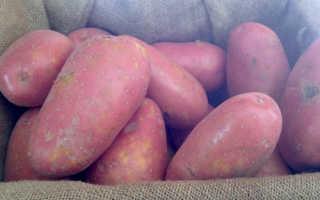 Картофель сорт лаура описание сорта фото