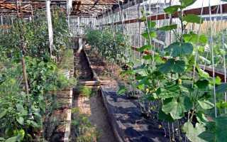 Посадка помидор и огурцов в одной теплице