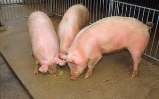Чтобы свиньи быстро набирали вес