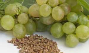 Будет ли плодоносить виноград выращенный из косточки