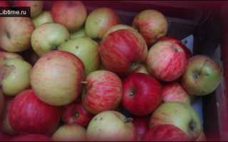 Сорт яблок пепин черненко