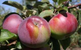Яблоко флорина описание сорта