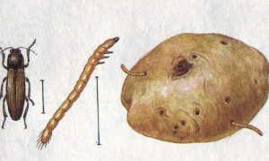 Схема посадки арбуза в открытый грунт