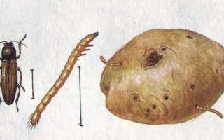 Как избавиться от проволочника на картофельном огороде
