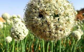 Семена лука чернушки сорта