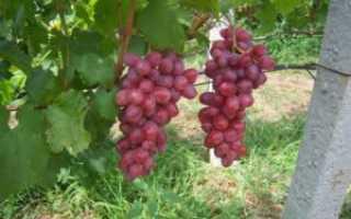 Сорт винограда сенатор павловского