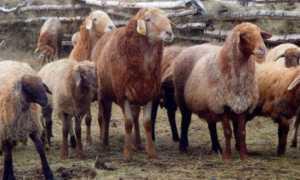 Эдильбаевская порода овец цена