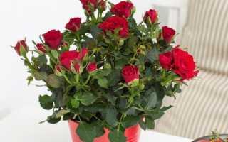 Пересадка цветущей розы после покупки